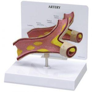 Microanatomy Models