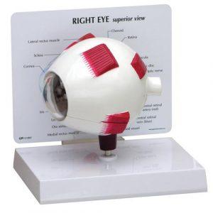 Eye Models