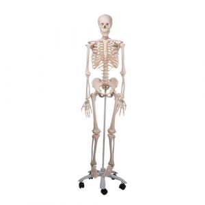 Skeleton Models - Life size