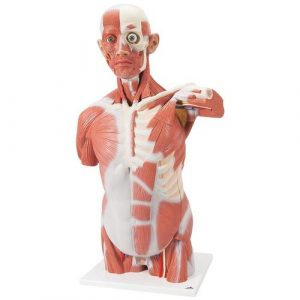Muscle Models